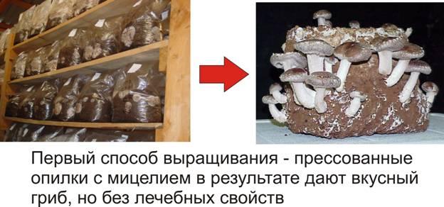 выращивание гриба шиитаке