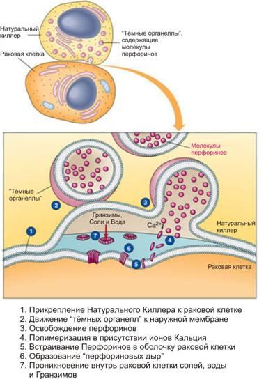 перфорин встраивается внаружную оболочку клетки, раздвигая её встороны иобразует отверстие – перфориновую дыру